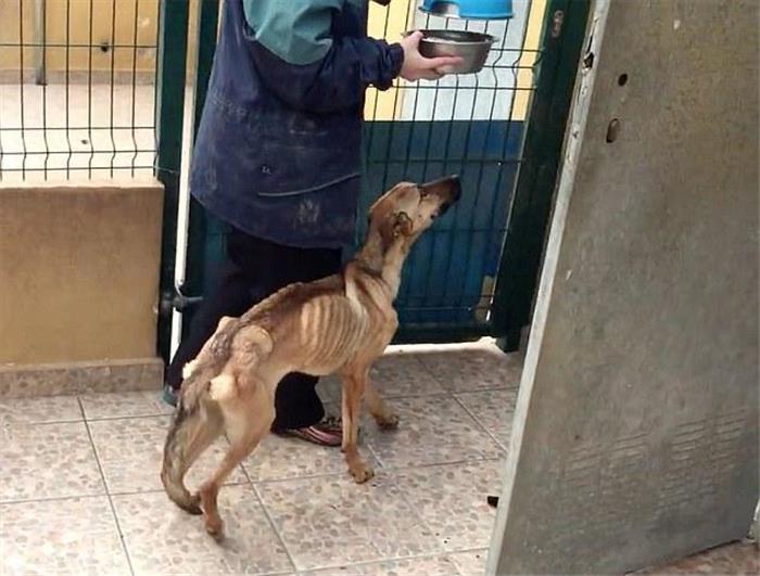 西班牙一流浪狗被救7周前后对比照