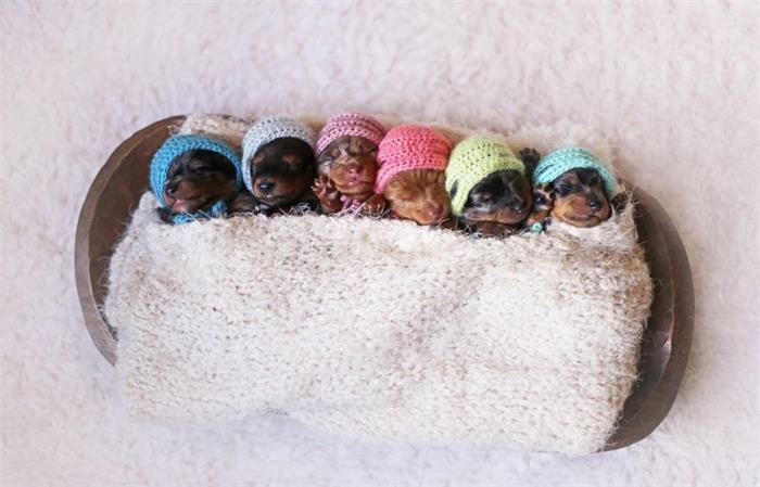 腊肠犬喜获六胞胎 摄影师拍超萌写真