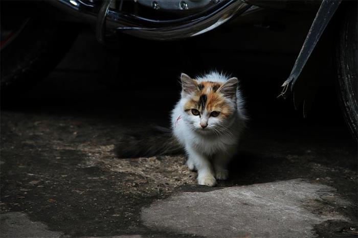 摄影图片可爱的猫葡萄般大的眼睛溢出了一股灵气
