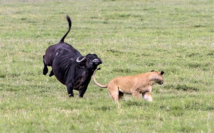 非洲饥饿母狮捕食不成反被水牛群倒追狂奔
