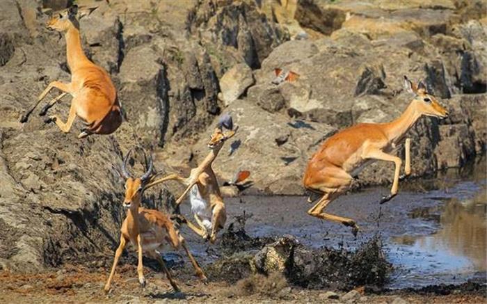 南非公园羚羊水边喝水遭鳄鱼突袭 纵身一跃逃生