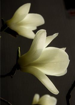 摄影图片 家门口皎洁无暇的白玉兰花
