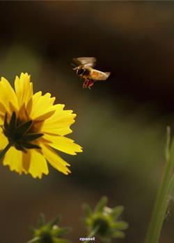 摄影图片 闹哄哄的蜜蜂和乱纷纷的食蝇氓