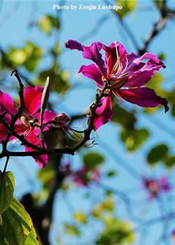 摄影图片 一簇簇如此灿烂的紫荆花开20140203