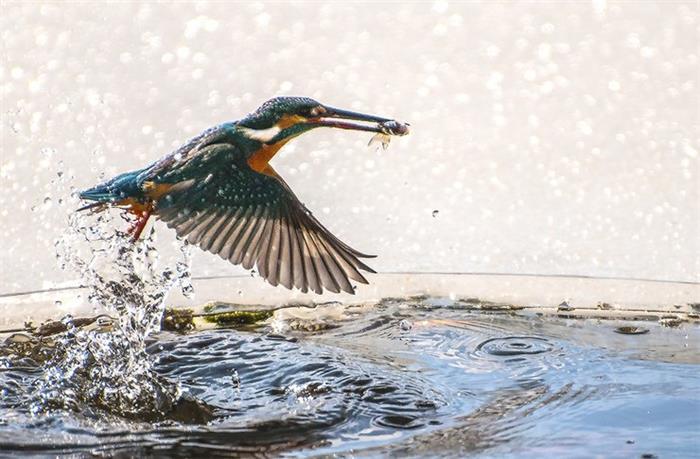 摄影图片 美丽机灵的小翠鸟冰洞里捕鱼
