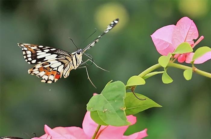 摄影图片彩蝶迎春鸟语花香
