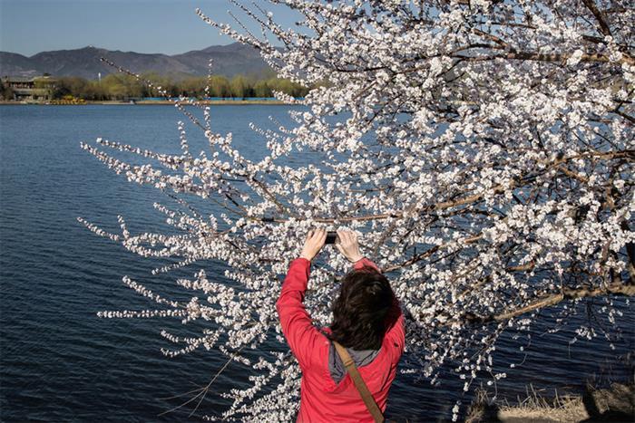 摄影图片 颐和西堤灿烂美丽的桃花开