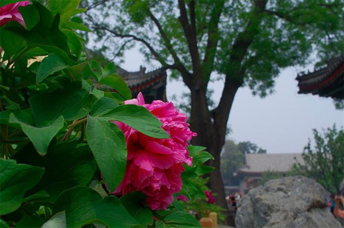 颐和园——牡丹雍容华贵