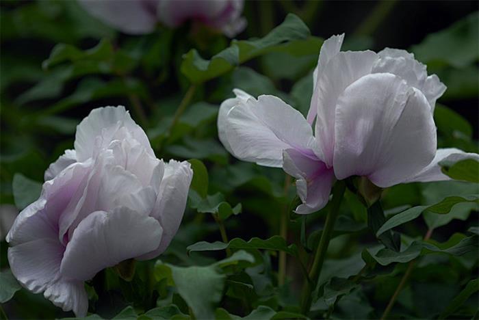 摄影图片中山公园牡丹花含苞欲放