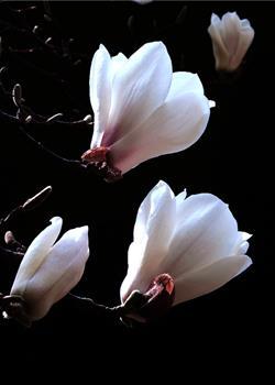 摄影图片 春拍美丽端庄的玉兰花