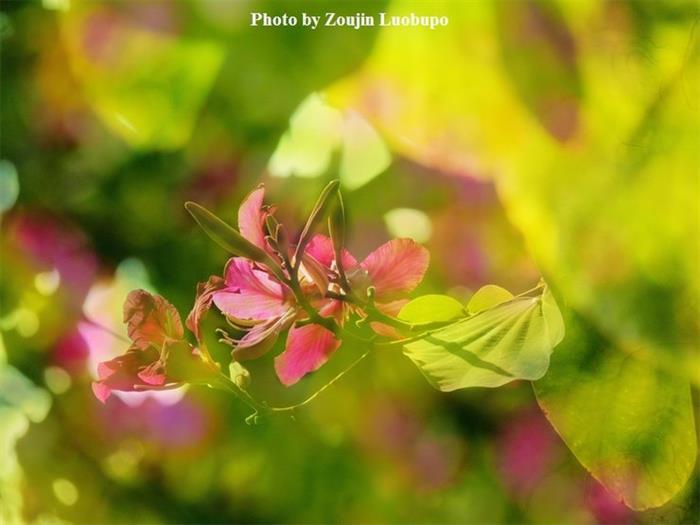 摄影图片紫荆花开真美