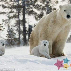 摄影师捕捉北极熊母子雪地赶路精彩瞬间