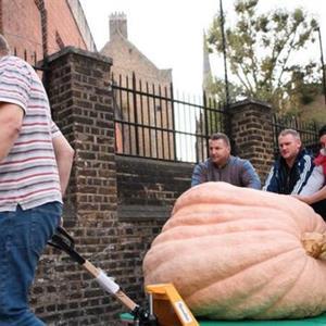 伦敦丰收节将至 556公斤重南瓜亮相
