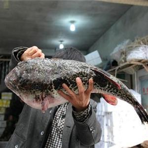 海鲜市场现罕见巨无霸河豚 单体重量14斤