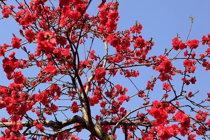 摄影图片 玉渊潭公园美丽的樱花节